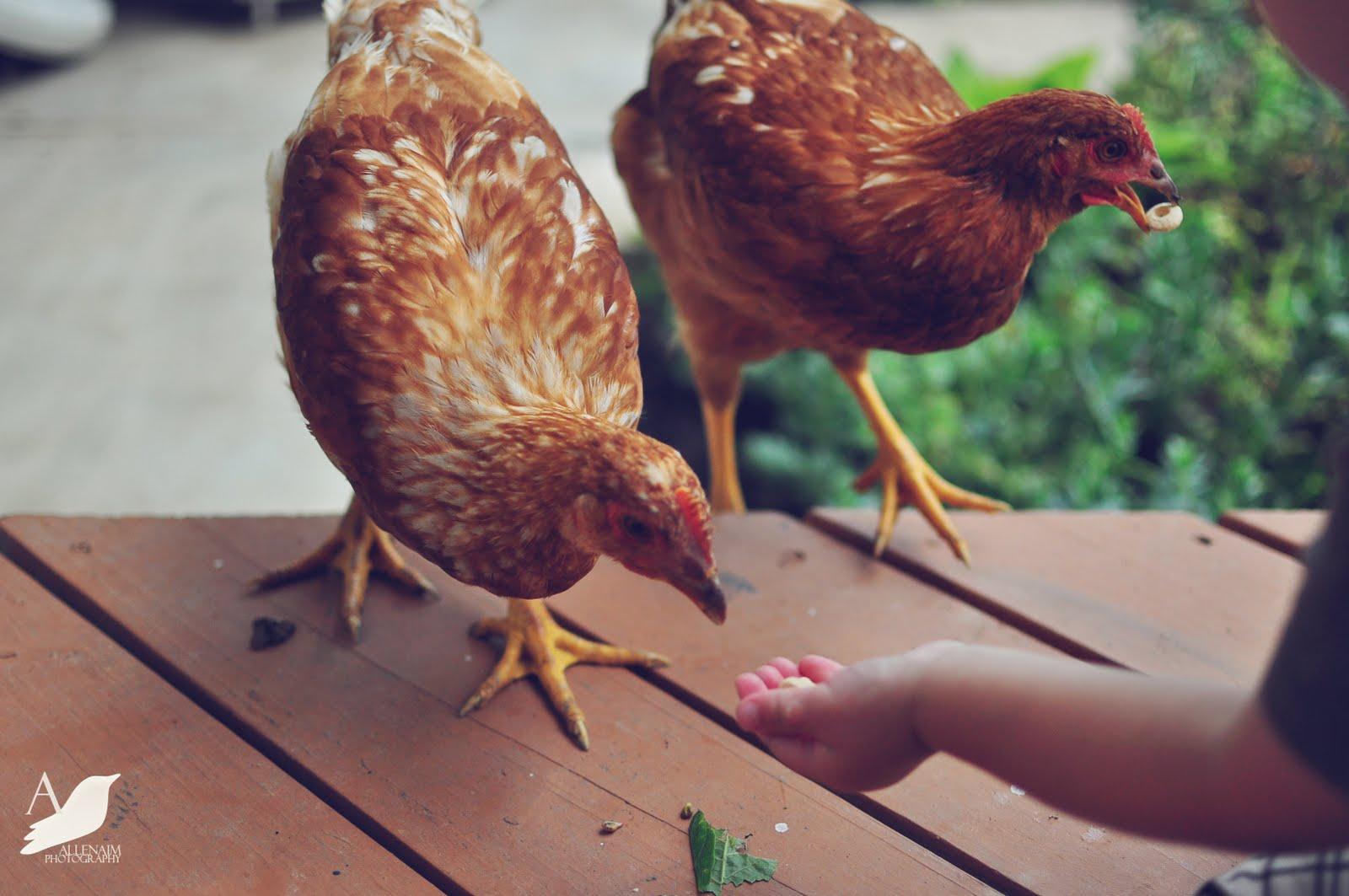 Raising Chickens and Children