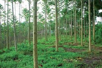 Kehutanan Dan Pertanian Dampak Kelemahan Dan Manfaat Hti Hutan Tanaman Industri