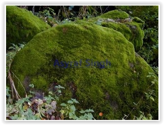Siklo Pedia Artikel Lengkap Mengenal Tumbuhan Lumut Bryophyta