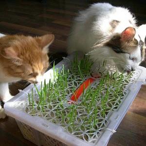 cat-grass-murah.jpg