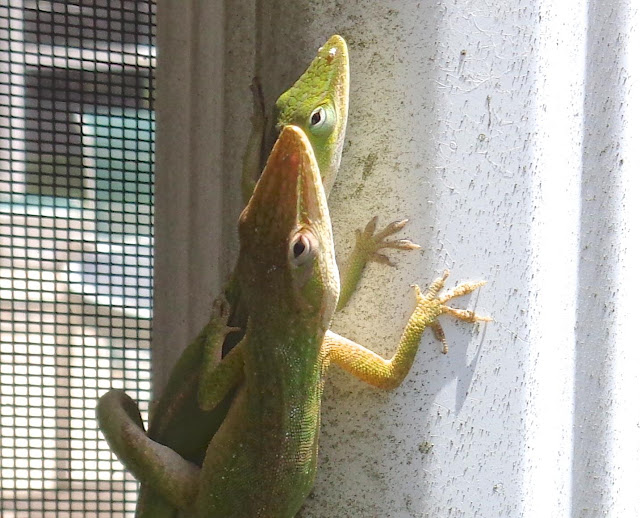 Green anole lizards mating
