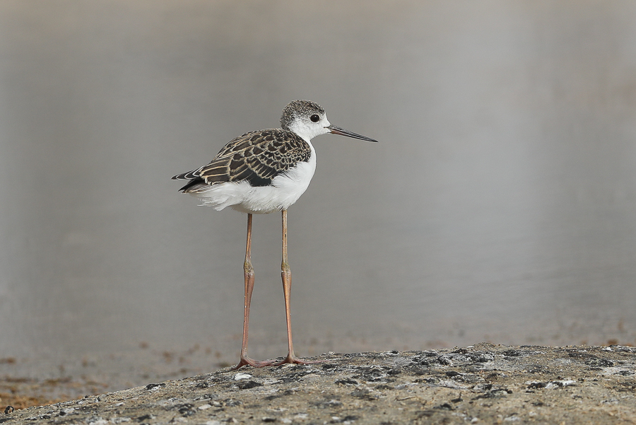 Black-winged Stilt - juvenile