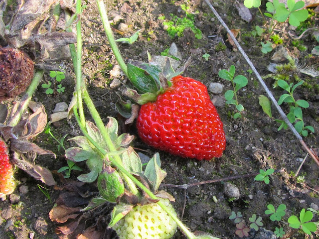 Fragole mature ed immature