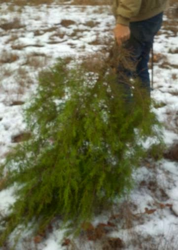cutting down a Christmas tree, Charlie Brown Christmas, Melody Rose Extreme Cheapskate