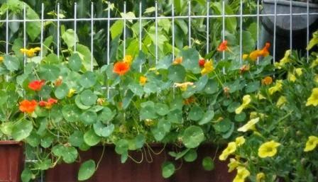 Kapuzinerkresse - ungiftige Pflanzen