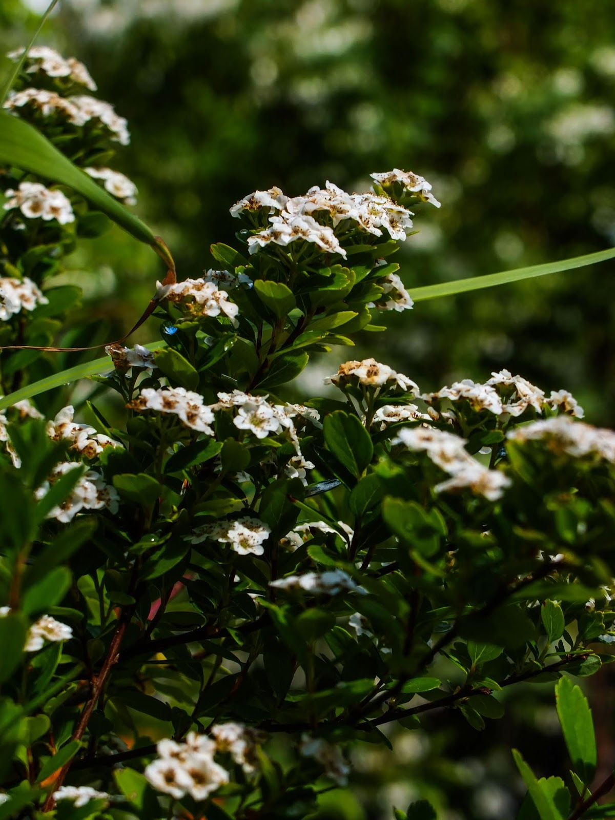 Clusters of little white flowers on a bush in the sun light.