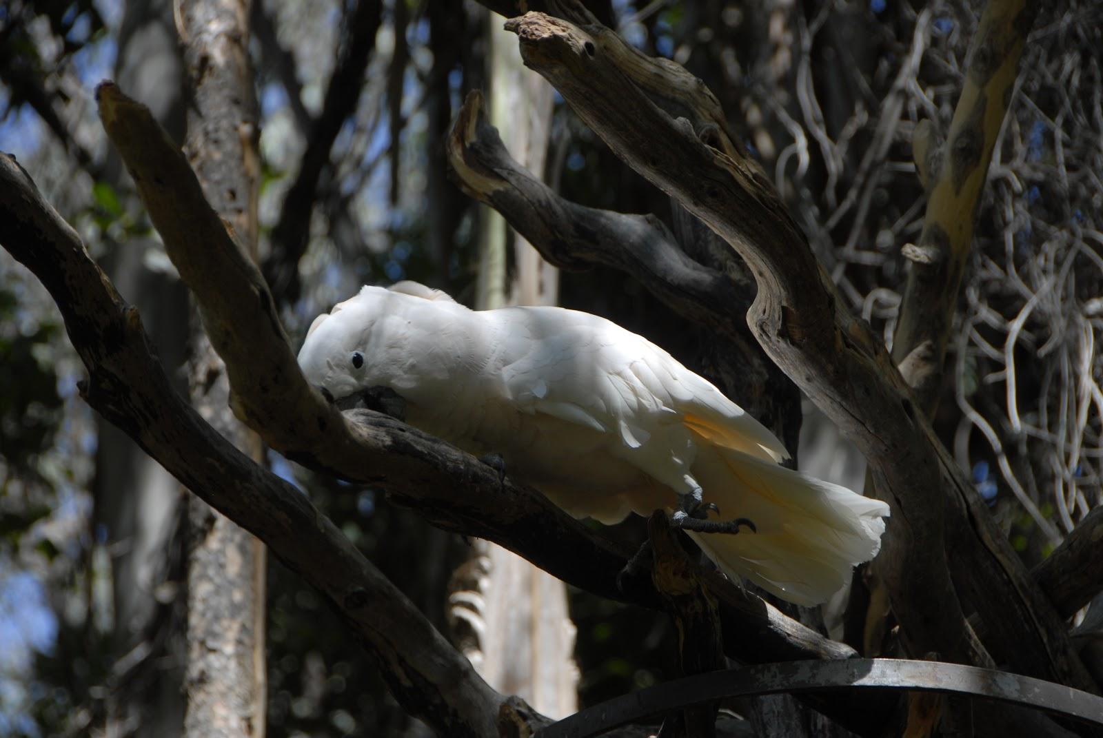 Beautiful white parrot at the San Diego Safari Park