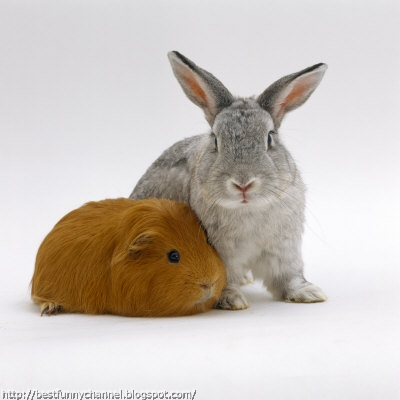 Bunny and guinea pig.
