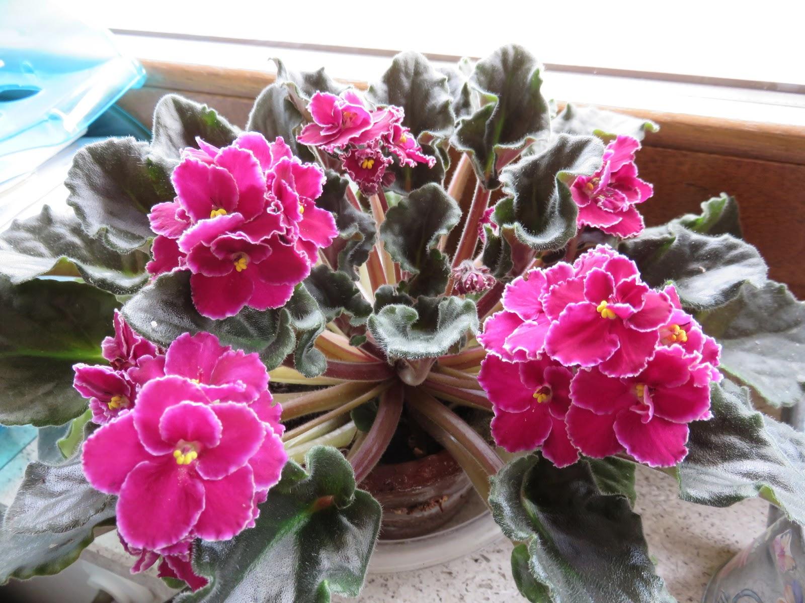 Piante Strane Da Appartamento una, dieci, tante violette africane.
