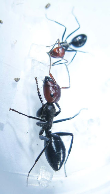 The major and minor workers of Camponotus saundersi