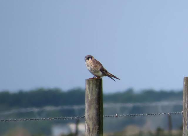 American Kestrel - Joe Overstreet Road, Florida