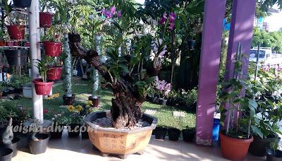 Anggrek Tempel Kayu. Rumah Bunga Neisha