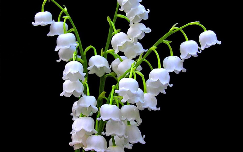 Comment Conserver Du Muguet En Vase rene blanchemanche: pourquoi offre-t-on du muguet le 1er mai ?