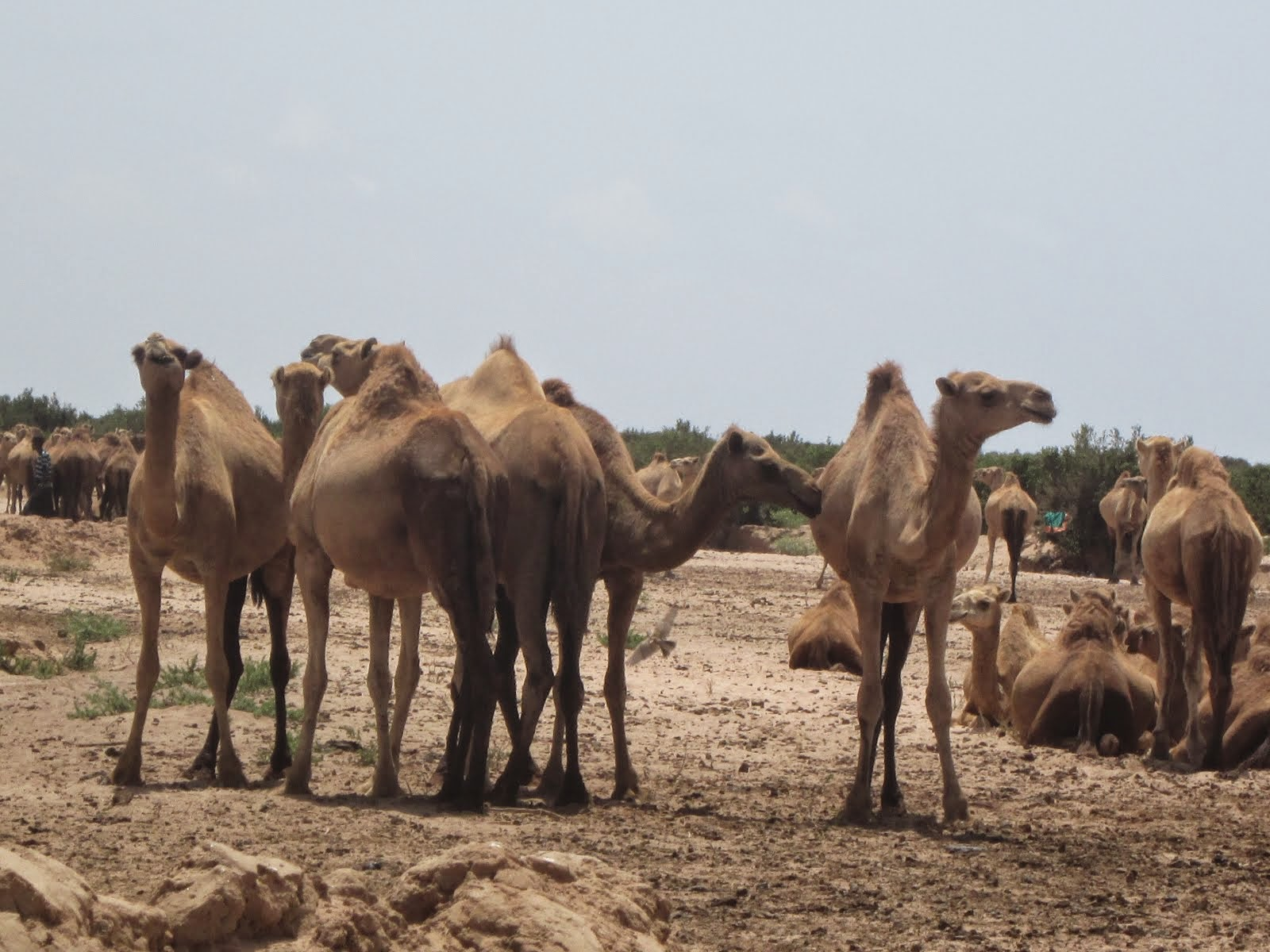 Wild camel herd, Somaliland desert route, 27 hours in 4WD !