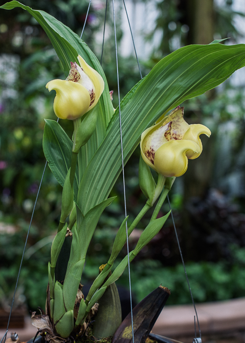 Anguloa cliftonii ABG 20162358