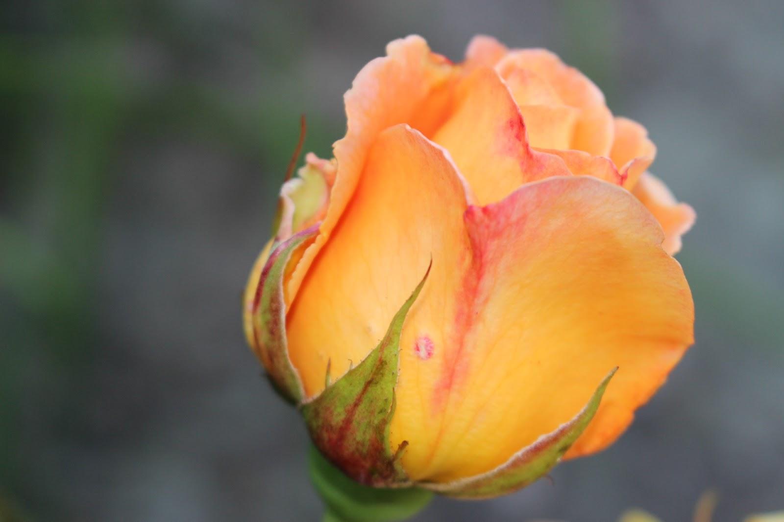 Trädgårdsblogg   rabarberbladet: whisky mac ros