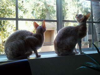 Two Cornish Rex Cats birdwatching through a window