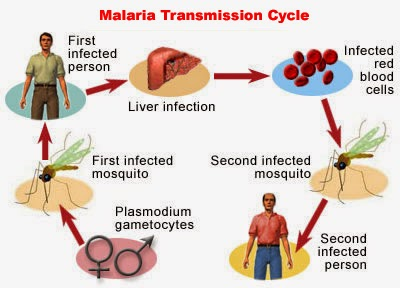 Malaria Transmission Cycle