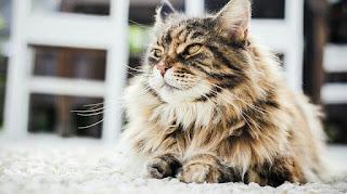 Cara Merawat Kucing Persia Agar Gemuk dan Sehat