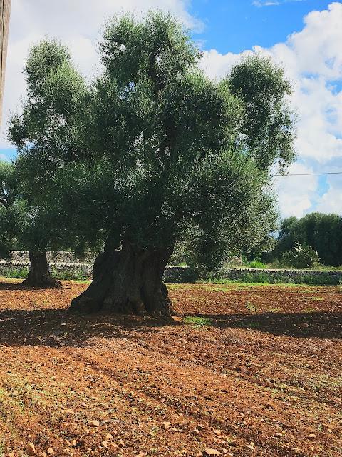 ancient-olive-tree-puglia