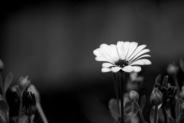 Pictures Of Flowers Black And White
