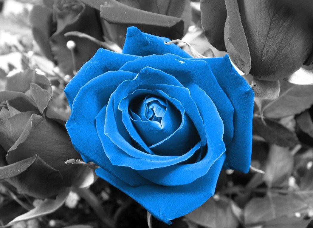 Yellow Wallpaper: Blue Roses