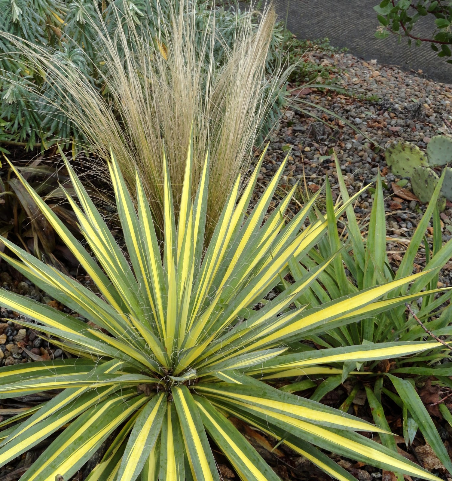 danger garden another yucca filamentosa is my favorite plant in the garden this week. Black Bedroom Furniture Sets. Home Design Ideas