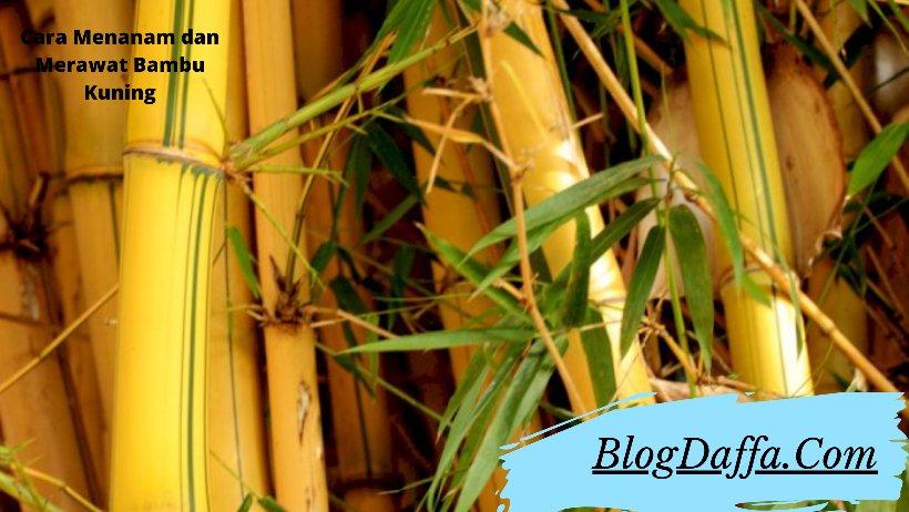 Cara Menanam Bambu Kuning di Depan Rumah