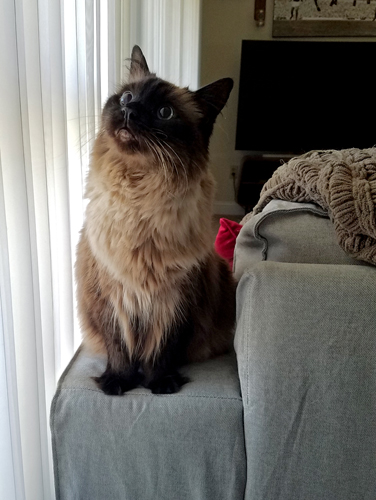 image of Matilda the Fuzzy Sealpoint Cat sitting on the arm of the couch near the window, looking up at who-knows-what