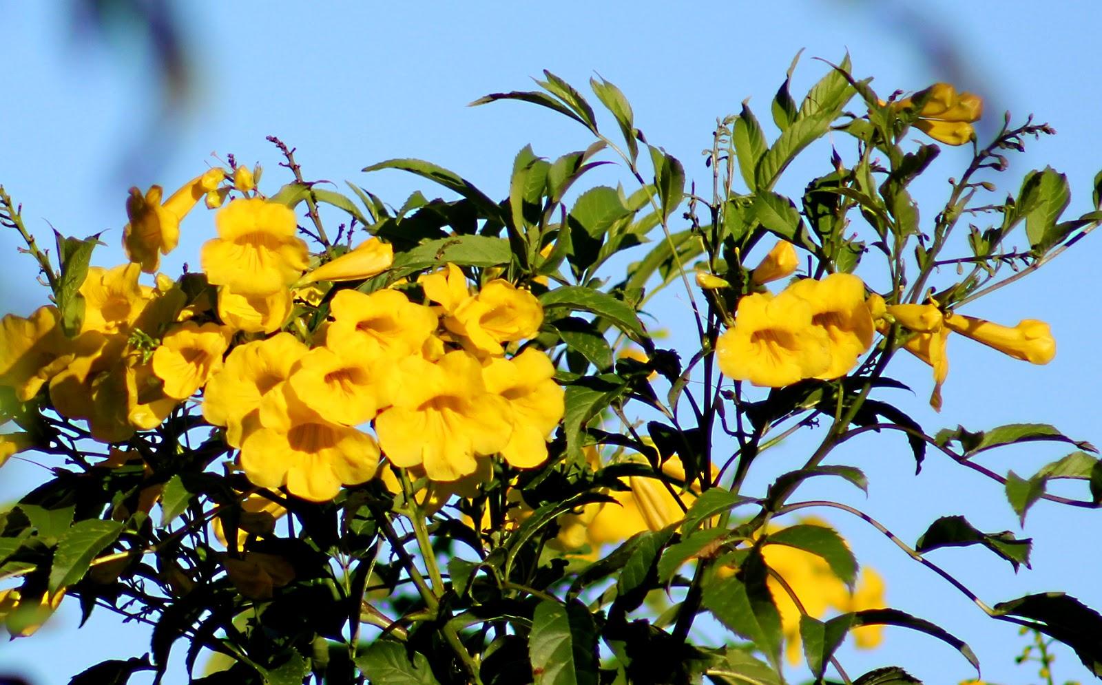 Yellow Bells Keep Increasing Retired In Costa Rica