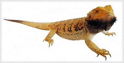 bearded dragon disease