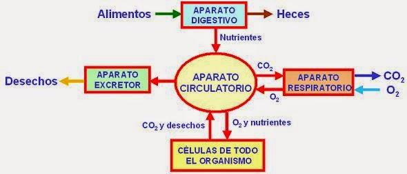 biologia2bachcamp: 3º ESO. TEMA 5. APARATO DIGESTIVO