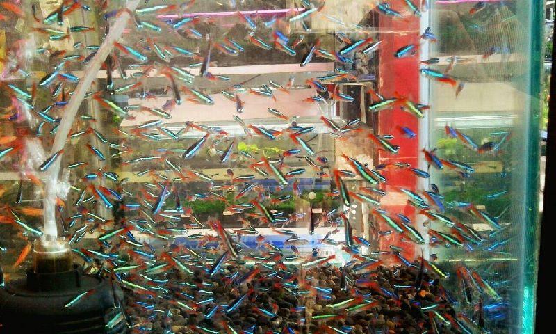 cara memelihara ikan neon tetra