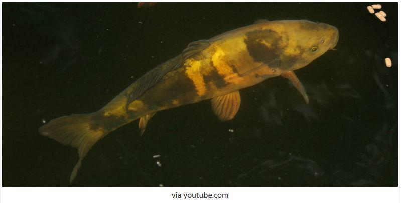 Jenis-Jenis Ikan Koi Cha Utsuri