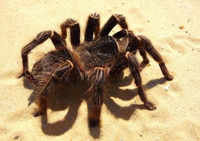 Maior aranha do mundo