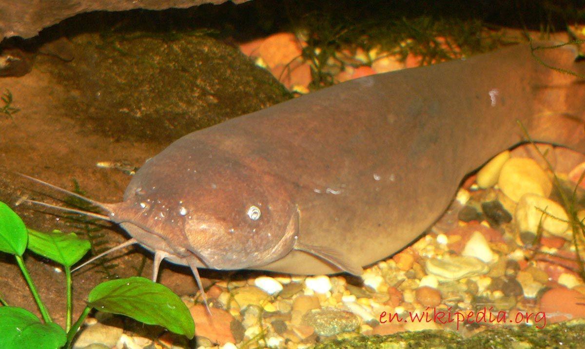 Gambar Electric Catfish Jenis Jenis Ikan Catfish Atau Lele Hias