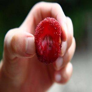 Manfaat dari Bayberry (Myrica cerifera) buat kesehatan
