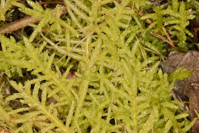 Pseudoscleropodium purum, Neat Feather-Moss.  Keston Common, 3 March 2016