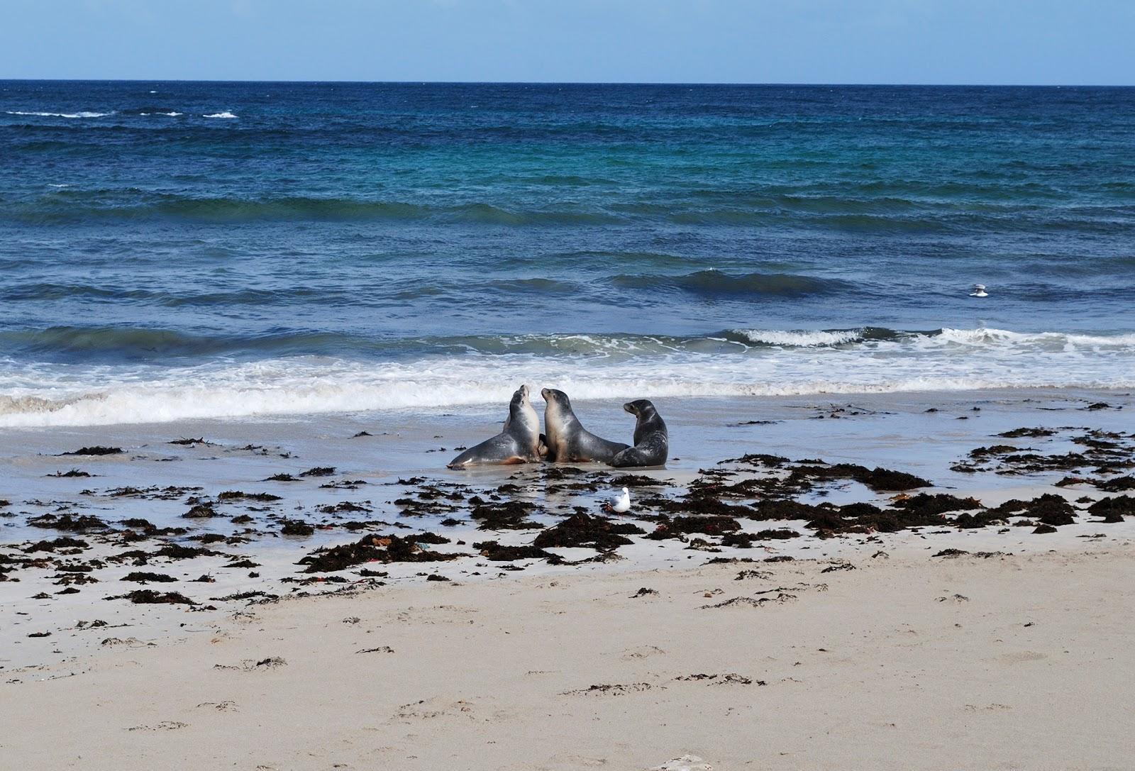 seals kangaroo island adelaide