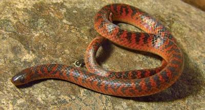 Atractus spinalis, cobra, serpente, descoberta na Serra do Cipó, Minas Gerais, natureza, animais