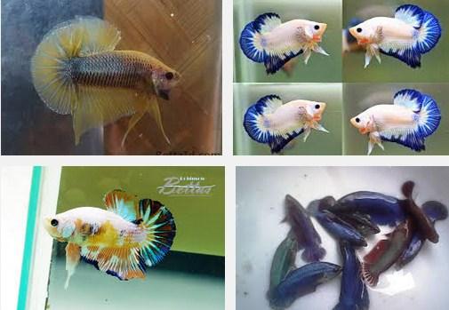 Ikan Hias Cupang Plakat