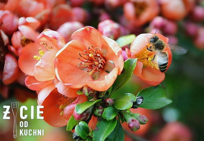 pigwowiec, kwiaty pigwowca, kwitnacy pigwowiec, pszczola, pszczola na kwiatach, zapylanie kwiatow, blog, zycie od kuchni. ogrod, ogrodek, maj, majowka, za miastem, wies, dzialka