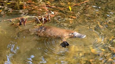 platypus-خلد-الماء