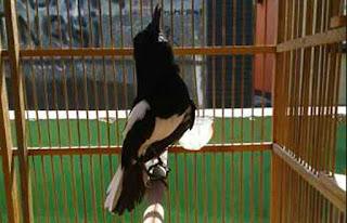 Rawatan burung kacer agar cepat gacor