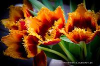 http://fineartfotografie.blogspot.de/2014/03/auergewohnliche-tulpen.html