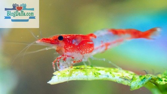 Udang hias air tawar Red Rili Shirmp