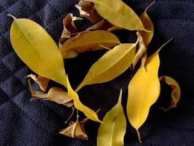 fikus gubi liście