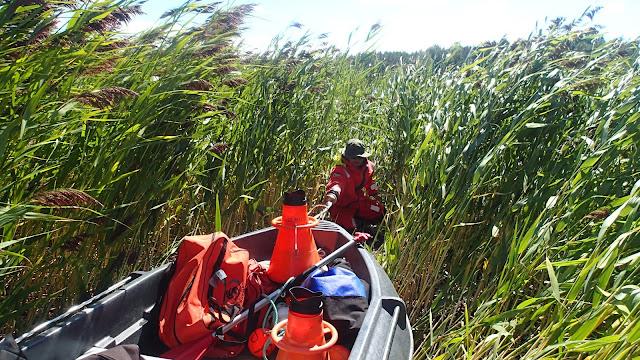 Työntekijä kiskoo täyttä venettä läpi ruovikon, joka kasvaa korkeampana kuin hän.
