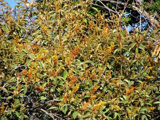 Nance Tree Flowers