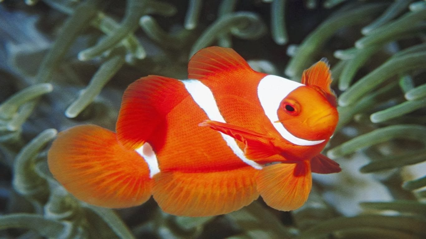 fish share: GAMBAR IKAN HIAS CANTIK CLOWN TRIGGER-11